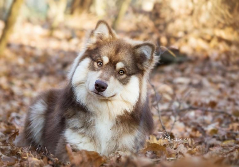 Finse Lappenhond Portretfoto