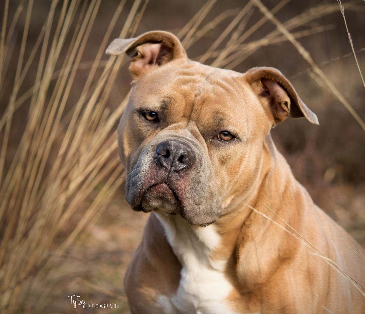 American Bully fotoshoot
