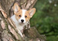 Corgi puppy fotografie