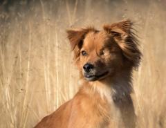 hond portret
