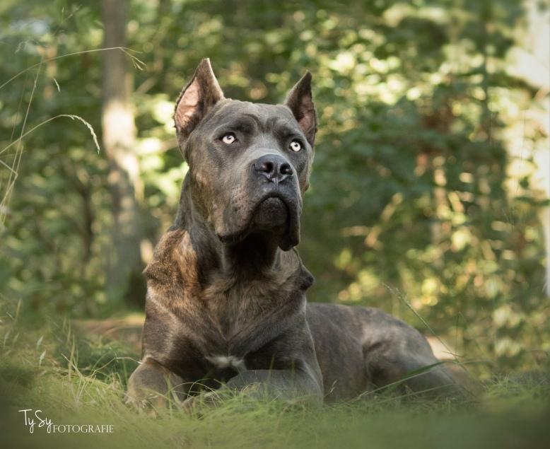 cane corso fotografie